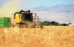 """""""Dünyanın en eski buğdayı Mezopotamya'da hayat buldu"""""""