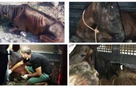 Tedavisi yapılan yaralı at Adana'ya sevk edildi