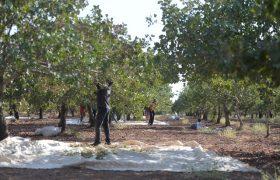 2 bin 500 ton fıstık hasat edildi